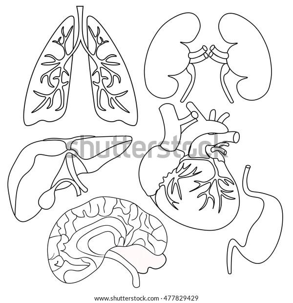 Coloring Set Organs Human Heart Lungs Stock Vector