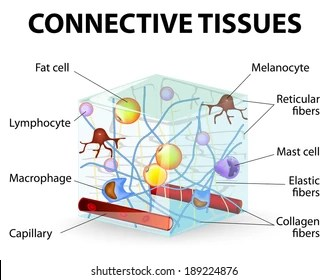 areolar connective tissue diagram pico relay wiring images stock photos vectors shutterstock that supports binds or separates more specialized tissues and organs of the