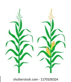 corn stalk images stock