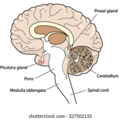 Brain Diagram Pons S Sun Layers Human Side View Parts Stock Photo Edit Now 83941303 Cross Section Of Showing The Pituitary And Pineal Glands Cerebellum Brainstem