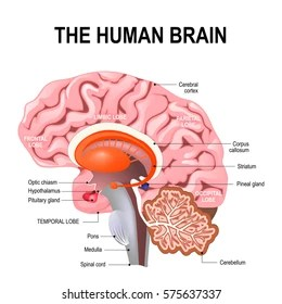 brain diagram pons 2003 ford focus starter midbrain images stock photos vectors shutterstock detailed anatomy of the human illustration showing medulla cerebellum
