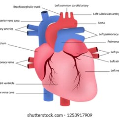 Realistic Heart Diagram Atp And Adp Of The Human Images Stock Photos Vectors Shutterstock Vector