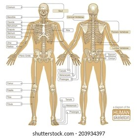 human bone structure diagram culligan water softener parts skeletal system images stock photos vectors shutterstock a of the skeleton main vector illustration