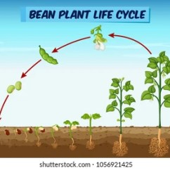 Bean Seedling Diagram Jeep Wrangler Tj Radio Wiring Plant Images Stock Photos Vectors Shutterstock Showing Life Cycle Illustration