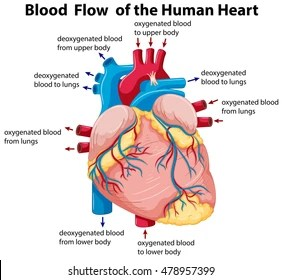 interior heart diagram 220v to 110v wiring schematic human images stock photos u0026 vectors shutterstock showing