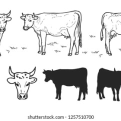Labelled Diagram Of A Cow Yamaha Raptor 700 Wiring Illustrated Images Stock Photos Vectors Shutterstock Drawing Cows Or Cattle Collection Isolated On The White Background Hand Drawn Sketch Domestic