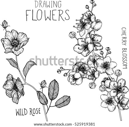 Drawing Flowers Wild Roses Cherry Blossom Stock Vector