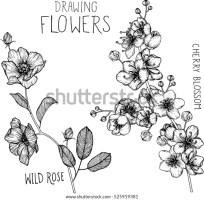 33 Kirschblüten Zeichnung Bleistift   Besten Bilder von ...