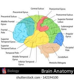 easy brain diagram oil burner parts human images stock photos vectors shutterstock to edit vector illustration of anatomy