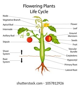 diagram of a flowering plant with label hino 500 wiring part images stock photos vectors shutterstock education chart biology for plants vector illustration