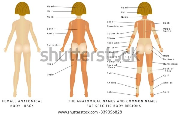 Female Body Back Surface Anatomy Human Stock Vector Royalty Free 339356828