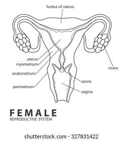 Picture of Female Reproductive System Images, Stock Photos