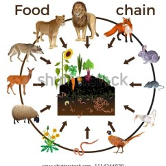 Simple Energy Flow Diagram Of Top Hand Food Chain Animals Vector Illustration Isolated Stock (royalty Free) 1114266929 ...