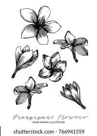 Plumeria Drawing : plumeria, drawing, Frangipani, Drawing, Images,, Stock, Photos, Vectors, Shutterstock
