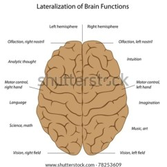 Left Side Brain Functions Diagram 3 Phase Voltage Uk Right Wiring Schematics Hemispheres Stock Vector Royalty Free Rh Shutterstock Com Anatomy And Lower