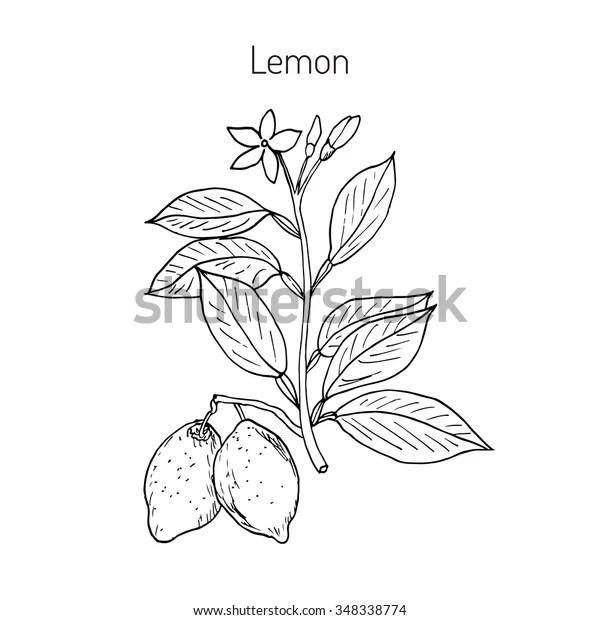 Hand Drawn Lemon Branch Vector Illustration Stock Vector