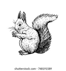 squirrel drawing images stock