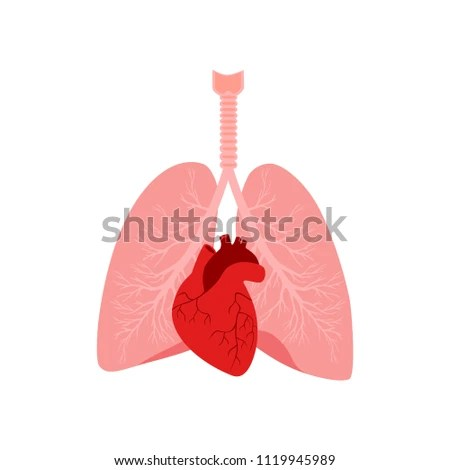 human heart and lungs diagram what is lvdt explain it with neat internal organs male stock vector royalty free in a body anatomy of people part the diastole systole filling pumping