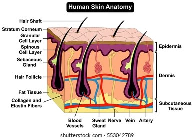 skin layers diagram labeled simple 2000 ford mustang gt radio wiring easy edit vector illustration ear anatomy stock royalty free human body infographic chart figure with all parts hair sweat gland artery vein