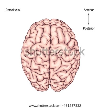 human brain diagram label white rodgers zone a flow water valve wiring top great installation of is view illustration stock vector royalty free rh shutterstock com to parts and functions with perceived