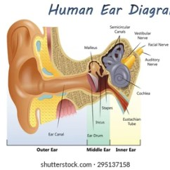Outter Ear Diagram Labeled Human Starter Solenoid Wiring Ford Outer Images Stock Photos Vectors Shutterstock