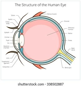 structure of human eye with diagram led light circuit 12v images stock photos vectors shutterstock scheme medical vector illustration educational material