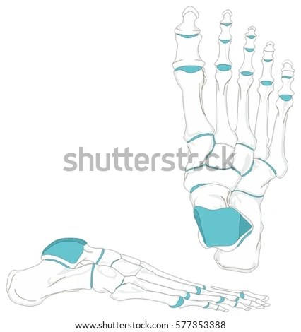 joints of the foot diagram parts an orange fruit human bones anatomy anatomical stock vector royalty in position front and lateral view with all for medical education