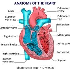 Realistic Heart Diagram Rj45 Phone Jack Wiring Human Images Stock Photos Vectors Shutterstock Anatomy Vector