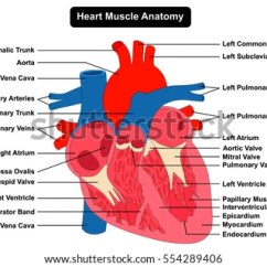Heart Diagram Inside Ac Dc Converter Circuit Human Muscle Structure Anatomy Infographic Stock Vector Chart All Part View Right Left Atrium Ventricle