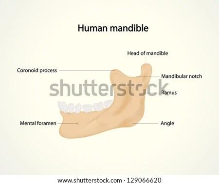 human mandible diagram trailer wiring uk stock vector royalty free 129066620 shutterstock