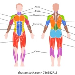 Skeletal And Muscular System Diagram Painless Wiring Ford Images Stock Photos Vectors Shutterstock Human Medical Poster Of Man Organ Consisting Smooth