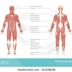 Human Muscles Diagram Labeled Front And Back Mitsubishi 2 4l Engine Muscular System Images Stock Photos Vectors Shutterstock The Vector Illustration Rear View