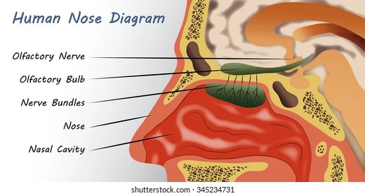 diagram of the human nose cbr 600 f4 wiring anatomy images stock photos vectors shutterstock