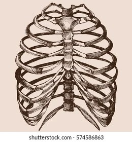rib cage bone diagram bengal tiger food chain images stock photos vectors shutterstock human vector hand drawn illustration of the skeleton in a realistic form