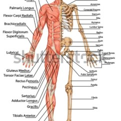 Human Skeleton And Muscles Diagram 2005 Ford Ranger Wiring Anterior View Didactic Board Stock Vector Royalty From The Of Anatomy Bony Muscular