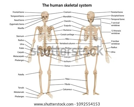 skeleton diagram labeled orbital interaction for molecular formation human front back main parts stock vector royalty free in and with illustration
