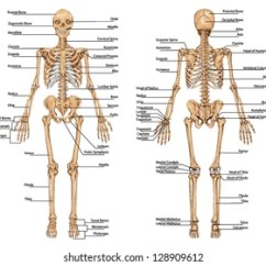 Human Bone Structure Diagram Lighted Rocker Switch Wiring Skeleton Images Stock Photos Vectors Shutterstock From The Posterior And Anterior View Didactic Board Of Anatomy Bony