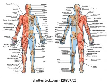 human skeleton and muscles diagram aristo 2jzgte wiring muscular system images stock photos vectors shutterstock from the posterior anterior view didactic board of anatomy bony