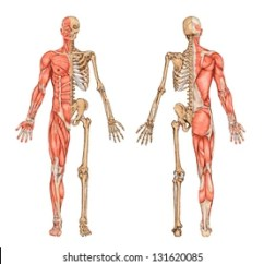Human Skeleton And Muscles Diagram Power Boat Wiring Diagrams Muscular System Images Stock Photos Vectors Shutterstock From The Posterior Anterior View Didactic Board Of Anatomy Bony