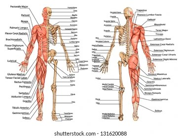 human skeleton and muscles diagram yamaha raptor 700 wiring muscular system images stock photos vectors shutterstock from the posterior anterior view didactic board of anatomy bony