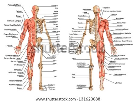 human skeleton and muscles diagram fuse switch wiring posterior anterior view didactic stock vector from the board of anatomy bony muscular system