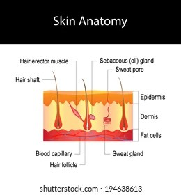 skin cross section diagram 2003 passat 6 cylinder engine royalty free stock illustration of human anatomy hair structure isolated on white background