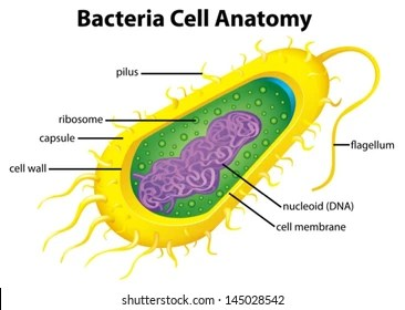 bacteria structure diagram chevy stereo wiring images stock photos vectors shutterstock illustration of the cell