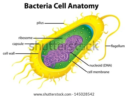 bacteria structure diagram bohr of iodine illustration cell stock vector royalty free the
