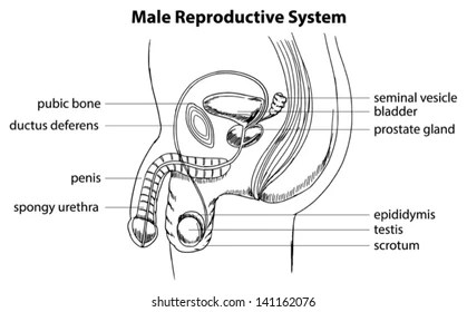 Male Reproductive System Images, Stock Photos & Vectors