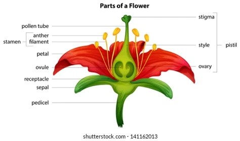 parts of a flower diagram kia rio wiring images stock photos vectors shutterstock illustration showing the