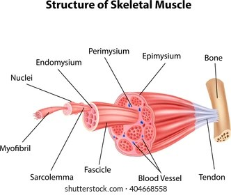 skeletal muscle diagram labeled 3 phase changeover switch wiring anatomy images stock photos vectors shutterstock illustration of structure