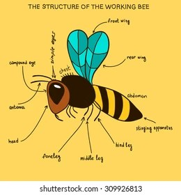 hornet anatomy diagram transformer wiring vector illustration insect labeled parts stock information poster with a picture of the outer structure body bee