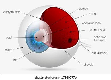 structure of human eye with diagram orographic rainfall images stock photos vectors shutterstock internal the