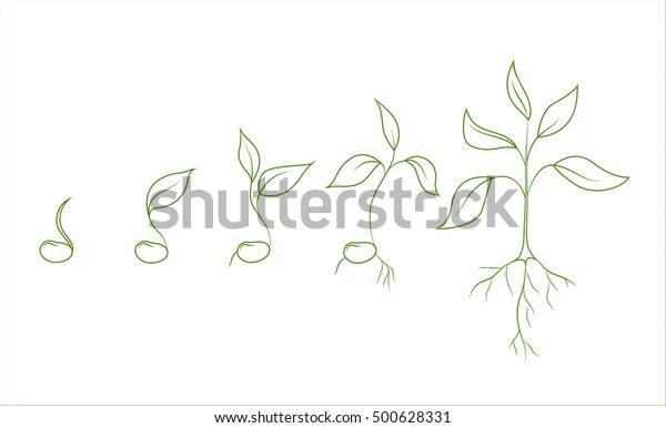 Kidney Bean Plant Growth Phases Evolution Stock Vector